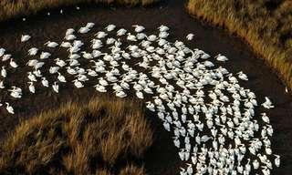 25 Incríveis Imagens de Migrações de Animais