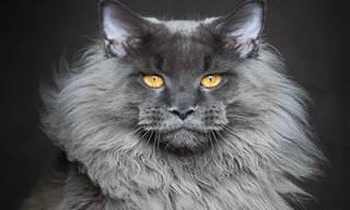 A Beleza Majestosa dos Gatos Maine Coon
