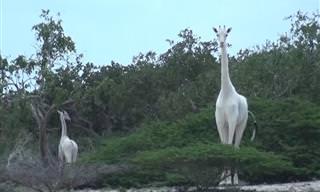 Girafas Brancas Existem e São Lindas!