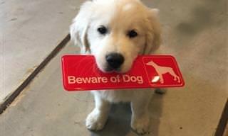 Cuidado: Esses Cães de Guarda Podem te Atacar Com Uma Lambida!