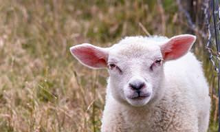 Piada Hilária do Dia: O pastor de ovelhas e a aposta do advogado