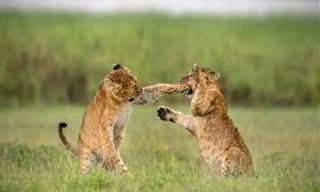 Comédias da vida selvagem em 12 imagens