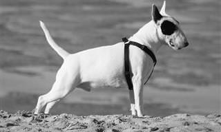 Observe a Cauda do Seu Cão e Saiba o Que Ele Está Sentindo