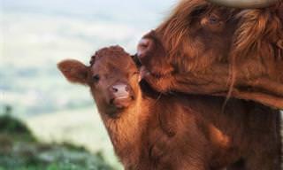 15 Fotos Adoráveis de Animais de Terras Altas na Escócia