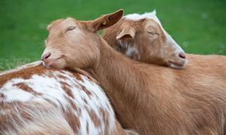 As Mais Belas Imagens de Animais Dormindo Juntinhos