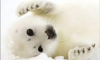Esses Animais Polares Vão Aquecer Seu Coração