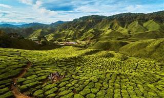 Conheça a beleza das fazendas de produção de chá
