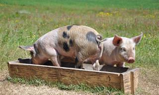 Para rir: Seu Benedito recebe a visita do fiscal na sua fazenda!