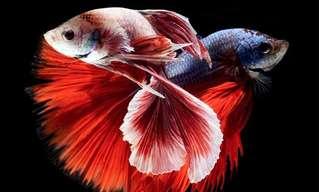 Os Coloridos Peixes Lutadores Siameses