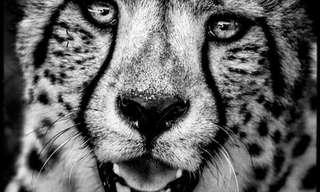 A Vida Selvagem em Preto & Branco