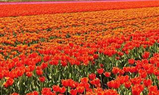 Admire a Beleza Destes Campos De Flores!