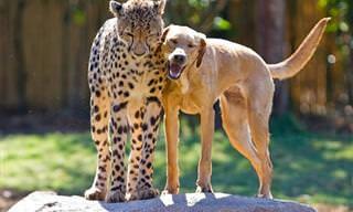 As Amizades Mais Inusitadas Entre Animais