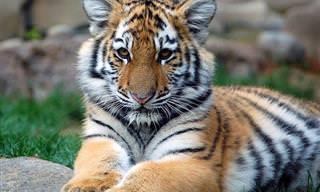 Belos gatos da vida selvagem
