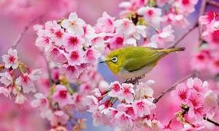 Deslumbramento Puro - Cerejeiras em Flor!