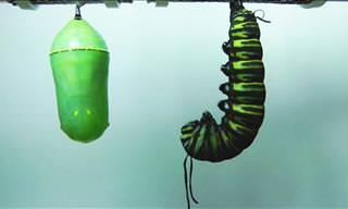 Como a natureza é perfeita: O nascimento de uma borboleta!