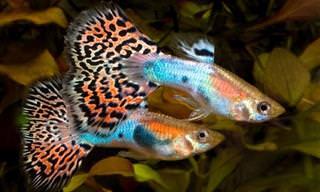 10 dos Peixes de Água Doce Mais Coloridos do Mundo