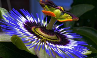 Você Conhecia Esses Fatos Sobre a Flor de Maracujá?