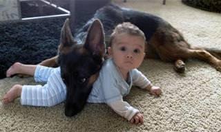 Assista: O pastor-alemão é o maior protetor das crianças!