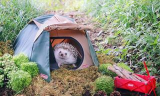 Este adorável porco-espinho adora acampar