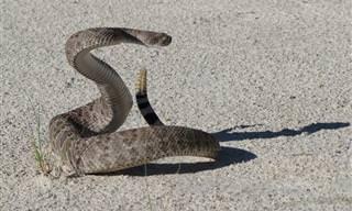 Guia Para Sobreviver a um Encontro Com Cobra