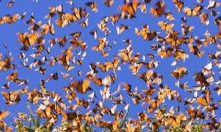 A Migração das Borboletas Monarca