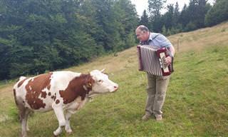 Uma vaquinha fã do som de um acordeon