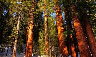 A Majestade das Sequoias Gigantes