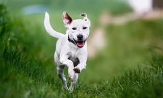 Entenda Seu Cão Por Meio da Cauda Dele