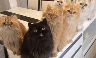Conheça a Família com 12 Gatos Persas Muito Fofos!