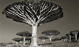 Veja as Árvores Mais Antigas do Mundo!