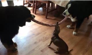Um Cão Pequeno Contra Dois Grandes no Cabo-de-Guerra: Quem Vai Vencer  Essa Batalha?