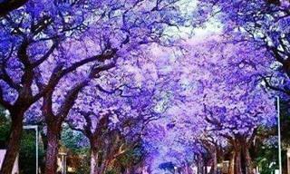 Admire a beleza dos jacarandás em flor