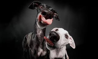 Série de Fotos de Cães da Raça Galgo Espanhol