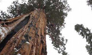 National Geographic Fotografa a Maior Sequoia do Mundo Por Inteiro!