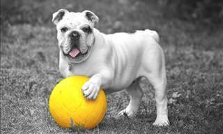 É por isso que os buldogues são os cães mais engraçados!
