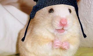 20 Motivos Para Você Ter Um Hamster