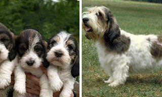 14 Raças Incomuns de Cães do Mundo Inteiro