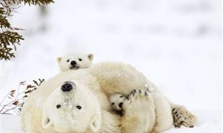 19 Fotos de Mamães Urso e Seus Filhotes Para Morrer de Amores