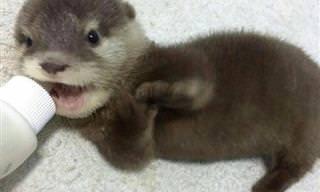 Estas lontras-bebês vão alegrar seu dia!