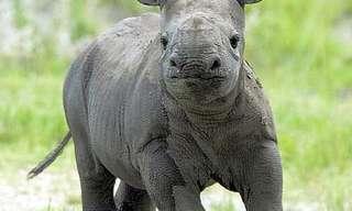 Estes Fofos Rinocerontes!