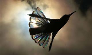 As asas do beija-flor brilham como um arco-íris