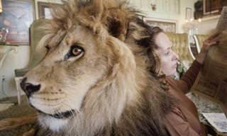 Conheça Neil, o Leão Mais Adorável do Planeta e sua Família Humana!
