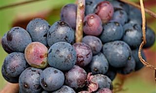 Os Benefícios Saudáveis das Uvas