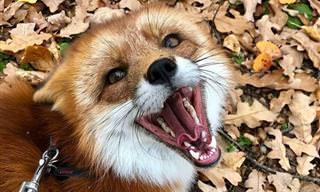 Dia difícil? Esta risonha raposinha vai lhe fazer sorrir