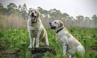 Labradores São Comediantes!