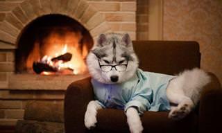 Encante-se Com Estes Huskies Siberianos Modelando!