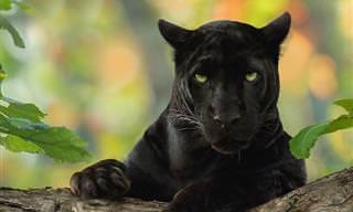 Toda a beleza hipnótica da Pantera Negra