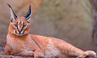 10 Belas e Raras Espécies de Gatos Selvagens!