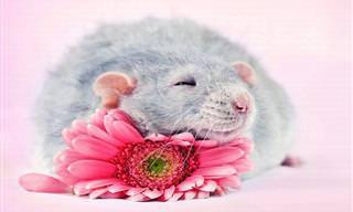 Veja Esses Ratinhos Adoráveis
