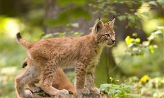 Adoráveis Gatinhos Selvagens